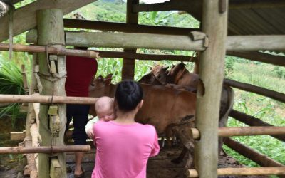"""Siunauksen sateet: vietnamilainen leskirouva liittyy """"lehmäpankkiprojektiin"""" ja siunaa jopa vainoajiaan"""